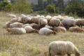 Vignette moutons 120x80
